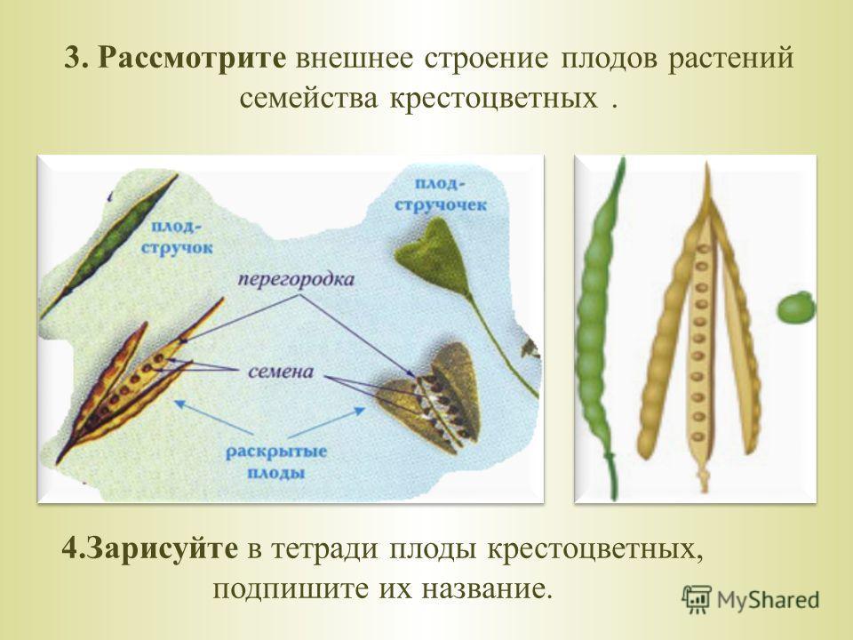 3. Рассмотрите внешнее строение плодов растений семейства крестоцветных. 4.Зарисуйте в тетради плоды крестоцветных, подпишите их название.