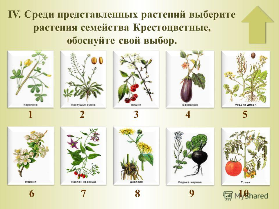IV. Среди представленных растений выберите растения семейства Крестоцветные, обоснуйте свой выбор. 1 2 3 4 5 6 7 8 9 10