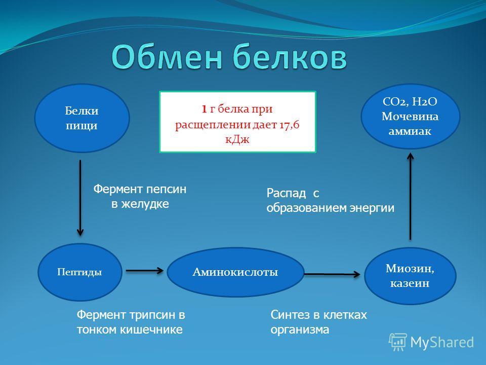 Белки пищи Пептиды Аминокислоты Миозин, казеин СО2, Н2О Мочевина аммиак Фермент пепсин в желудке 1 г белка при расщеплении дает 17,6 кДж Фермент трипсин в тонком кишечнике Синтез в клетках организма Распад с образованием энергии