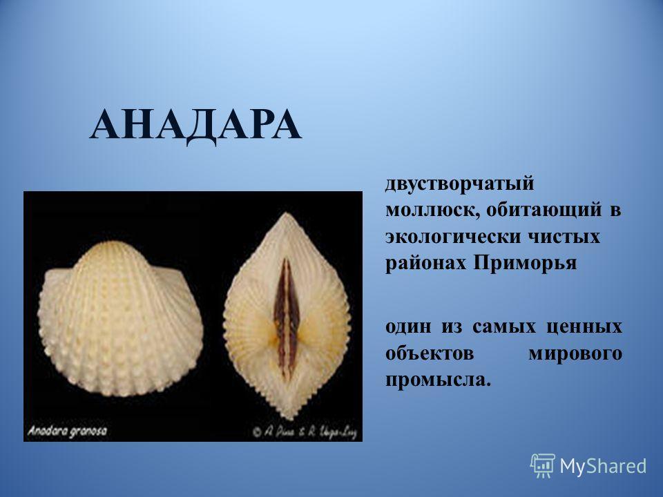двустворчатый моллюск, обитающий в экологически чистых районах Приморья один из самых ценных объектов мирового промысла. АНАДАРА