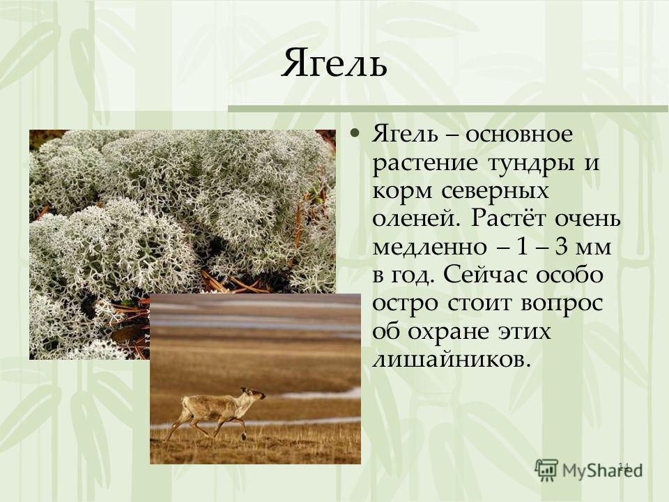 14 Ягель Ягель – основное растение тундры и корм северных оленей. Растёт очень медленно – 1 – 3 мм в год. Сейчас особо остро стоит вопрос об охране этих лишайников.