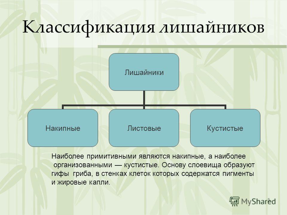 5 Классификация лишайников Лишайники НакипныеЛистовыеКустистые Наиболее примитивными являются накипные, а наиболее организованными кустистые. Основу слоевища образуют гифы гриба, в стенках клеток которых содержатся пигменты и жировые капли.