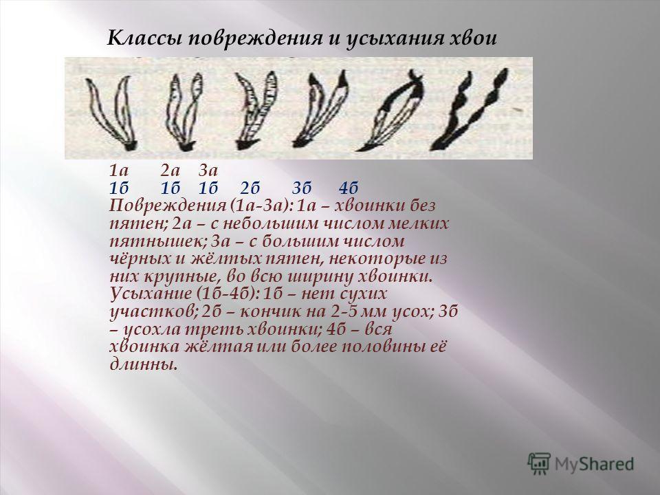 1а 2а 3а 1б 1б 1б 2б 3б 4б Повреждения (1а-3а): 1а – хвоинки без пятен; 2а – с небольшим числом мелких пятнышек; 3а – с большим числом чёрных и жёлтых пятен, некоторые из них крупные, во всю ширину хвоинки. Усыхание (1б-4б): 1б – нет сухих участков;