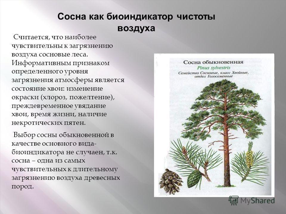 Сосна как биоиндикатор чистоты воздуха Считается, что наиболее чувствительны к загрязнению воздуха сосновые леса. Информативным признаком определенного уровня загрязнения атмосферы является состояние хвои: изменение окраски (хлороз, пожелтение), преж