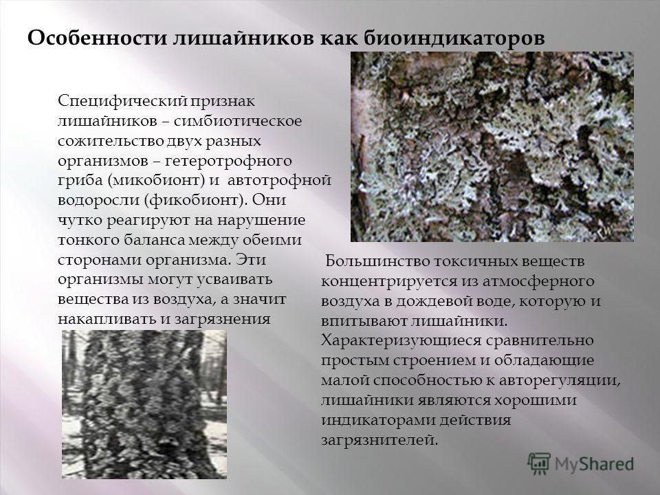 Особенности лишайников как биоиндикаторов Специфический признак лишайников – симбиотическое сожительство двух разных организмов – гетеротрофного гриба (микобионт) и автотрофной водоросли (фикобионт). Они чутко реагируют на нарушение тонкого баланса м