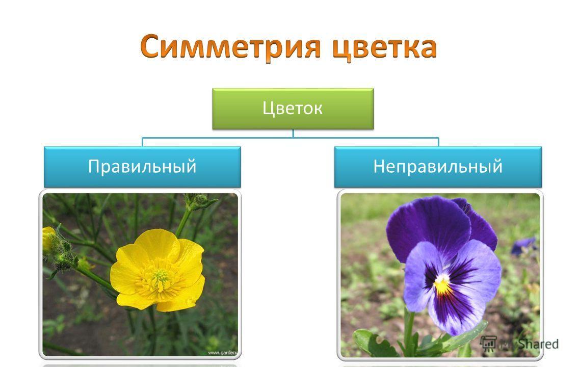 Цветок ПравильныйНеправильный
