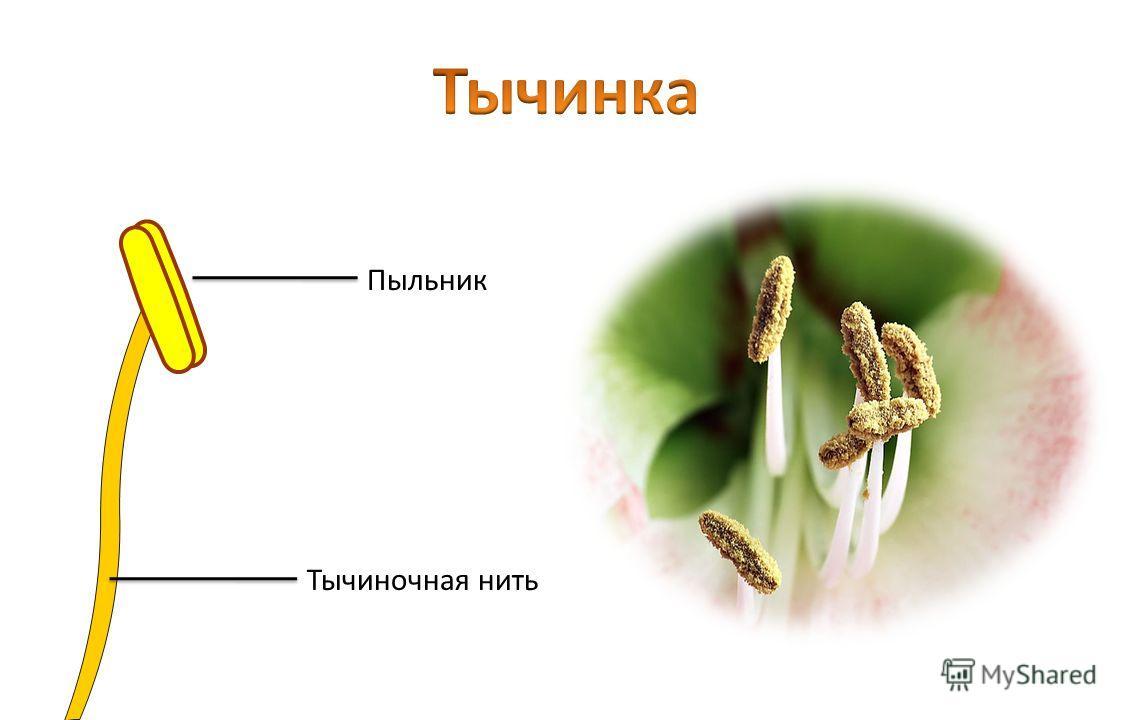 Тычиночная нить Пыльник