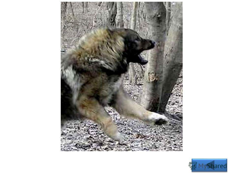 Вопрос 6 Эту способность утрачивают одичавшие домашние собаки. Правильный ответ: Одичавшие собаки больше не лают