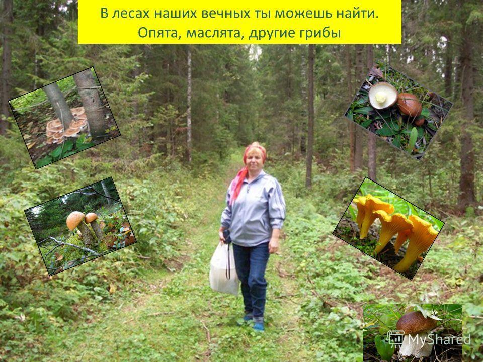 В лесах наших вечных ты можешь найти. Опята, маслята, другие грибы