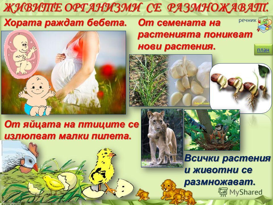ЖИВИТЕ ОРГАНИЗМИ СЕ РАЗМНОЖАВАТ. Хората раждат бебета. От яйцата на птиците се излюпват малки пилета. От семената на растенията поникват нови растения. план речник Всички растения и животни се размножават.