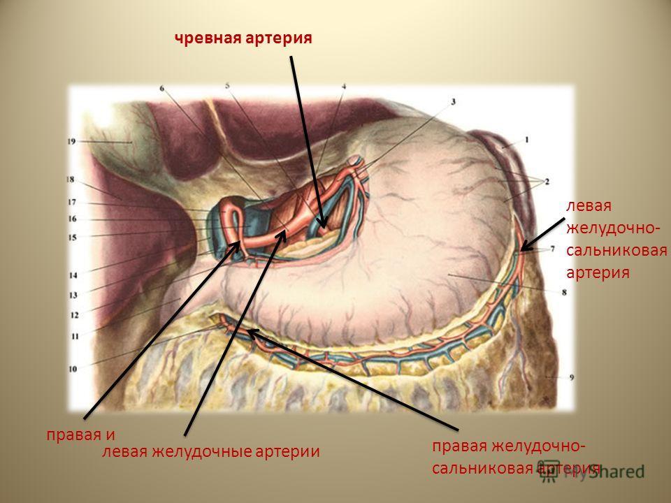 чревная артерия левая желудочные артерии правая и левая желудочно- сальниковая артерия правая желудочно- сальниковая артерия