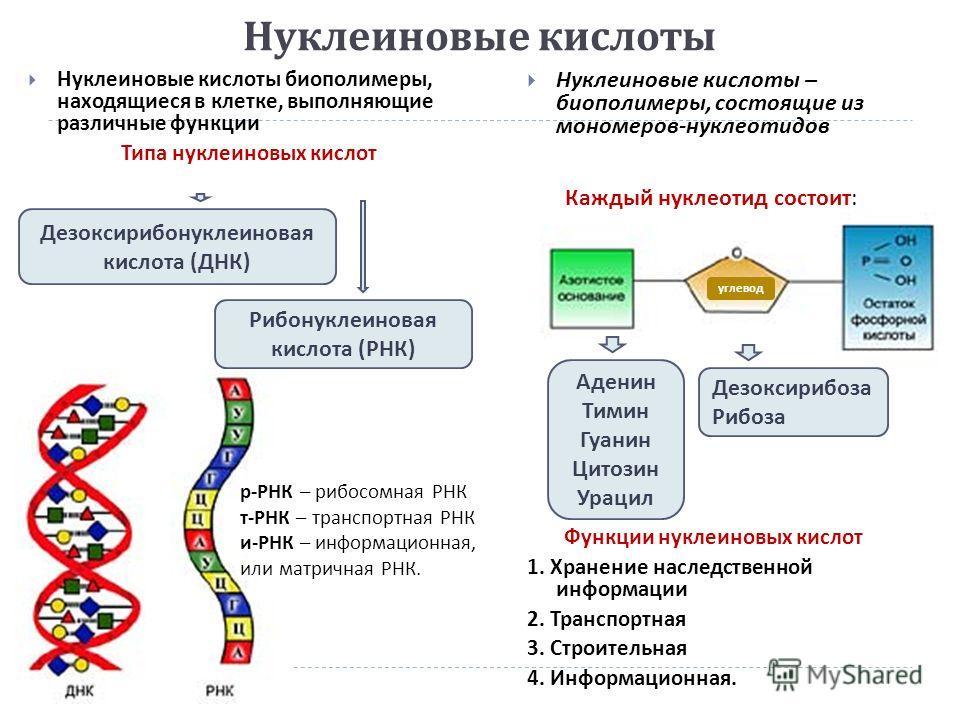 Нуклеиновые кислоты Нуклеиновые кислоты биополимеры, находящиеся в клетке, выполняющие различные функции Типа нуклеиновых кислот Нуклеиновые кислоты – биополимеры, состоящие из мономеров - нуклеотидов Функции нуклеиновых кислот 1. Хранение наследстве