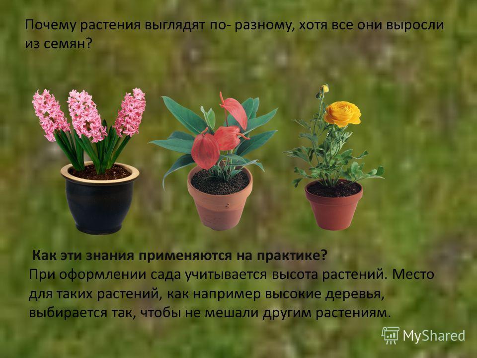 Почему растения выглядят по- разному, хотя все они выросли из семян? Как эти знания применяются на практике? При оформлении сада учитывается высота растений. Место для таких растений, как например высокие деревья, выбирается так, чтобы не мешали друг