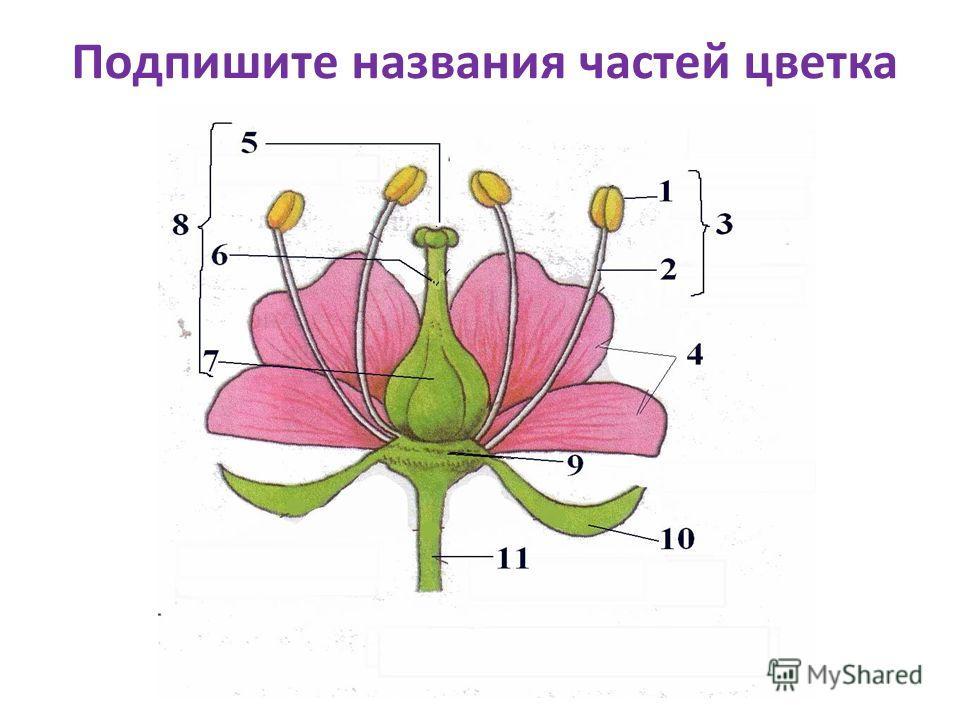 Подпишите названия частей цветка