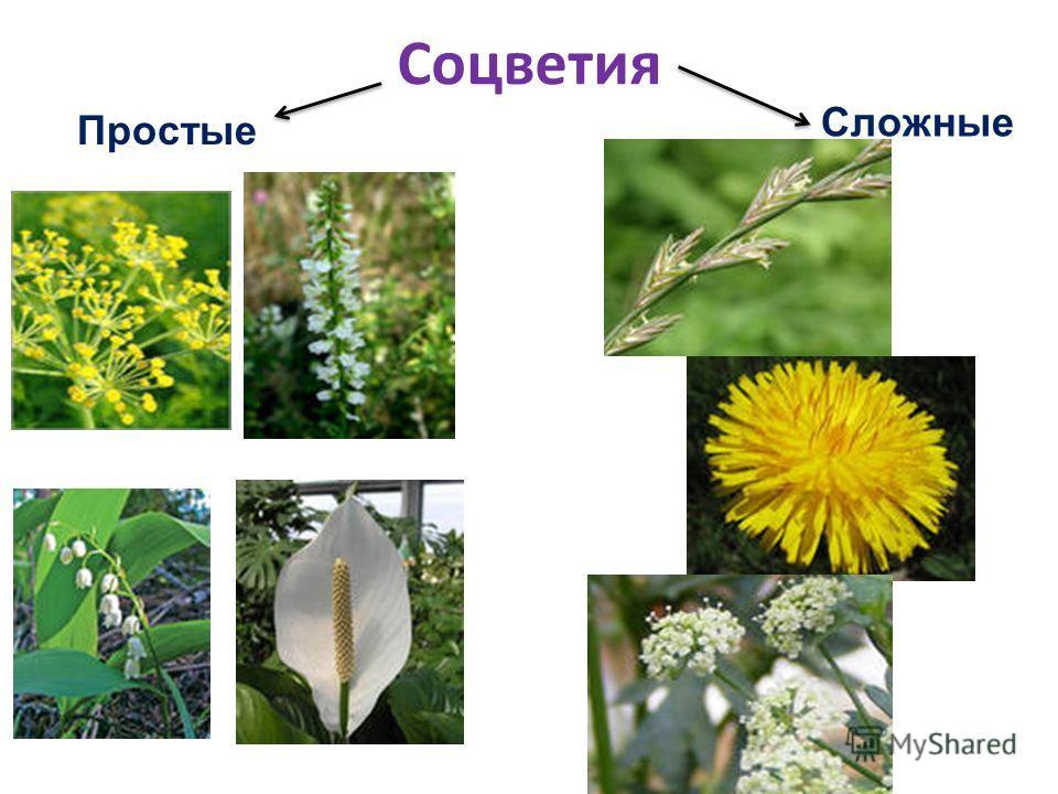 Соцветия Простые Сложные