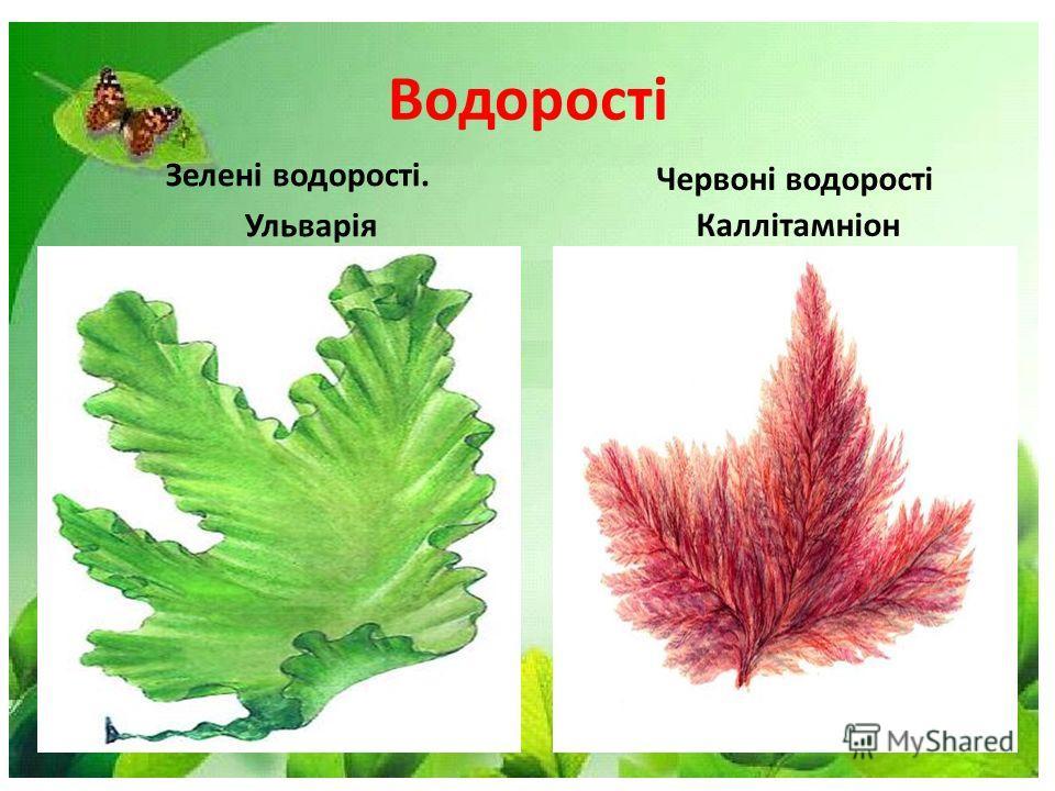 Водорості Зелені водорості. Ульварія Червоні водорості Каллітамніон