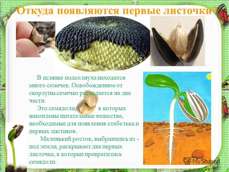 Откуда появляются первые листочки? 12 В шляпке подсолнуха находится много семечек. Освобожденное от скорлупы семечко распадается на две части. Это семядоли, в которых накоплены питательные вещества, необходимые для появления стебелька и первых листик