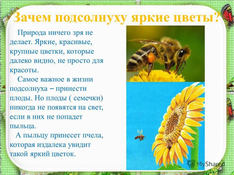 Зачем подсолнуху яркие цветы? 5 Природа ничего зря не делает. Яркие, красивые, крупные цветки, которые далеко видно, не просто для красоты. Самое важное в жизни подсолнуха – принести плоды. Но плоды ( семечки) никогда не появятся на свет, если в них