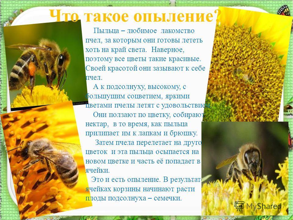 Что такое опыление? 6 Пыльца – любимое лакомство пчел, за которым они готовы лететь хоть на край света. Наверное, поэтому все цветы такие красивые. Своей красотой они зазывают к себе пчел. А к подсолнуху, высокому, с большущим соцветием, яркими цвета