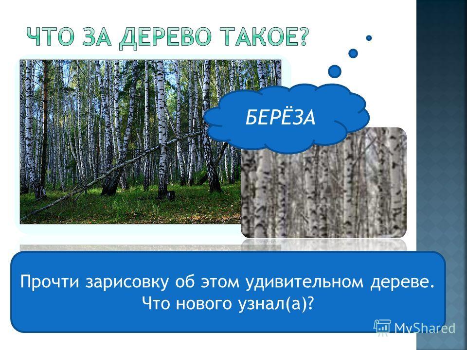 БЕРЁЗА Прочти зарисовку об этом удивительном дереве. Что нового узнал(а)?