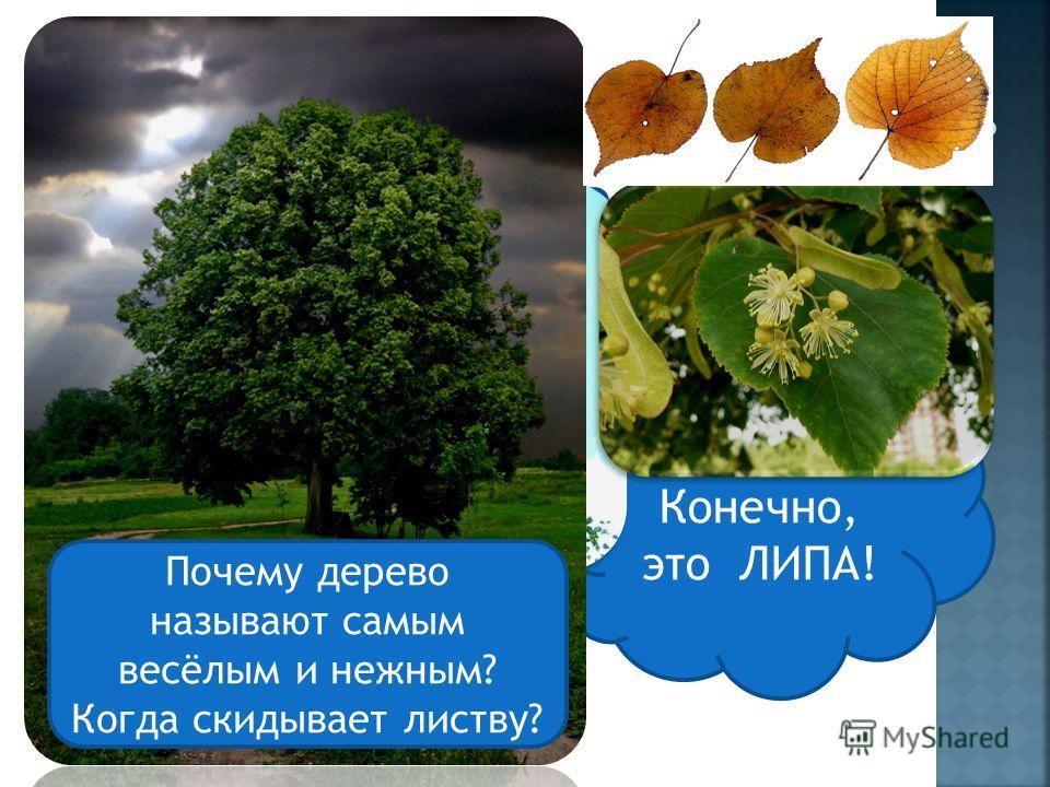 Разгадай ребус Конечно, это ЛИПА! Почему дерево называют самым весёлым и нежным? Когда скидывает листву?