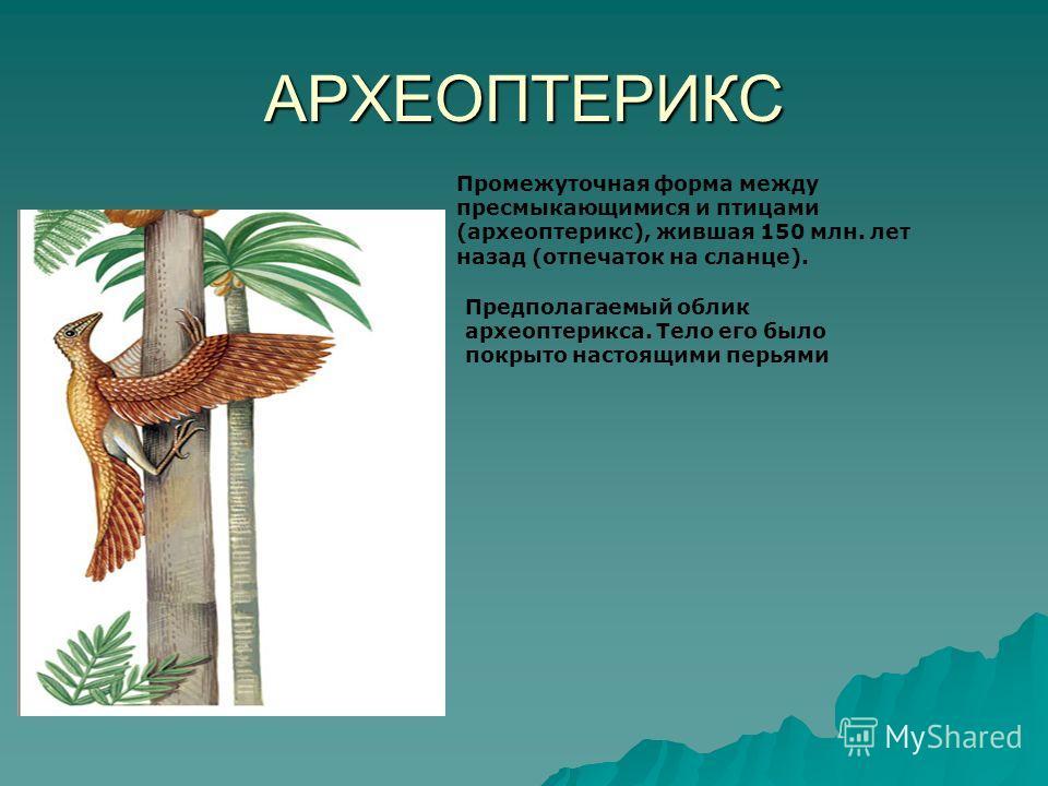 АРХЕОПТЕРИКС Промежуточная форма между пресмыкающимися и птицами (археоптерикс), жившая 150 млн. лет назад (отпечаток на сланце). Предполагаемый облик археоптерикса. Тело его было покрыто настоящими перьями