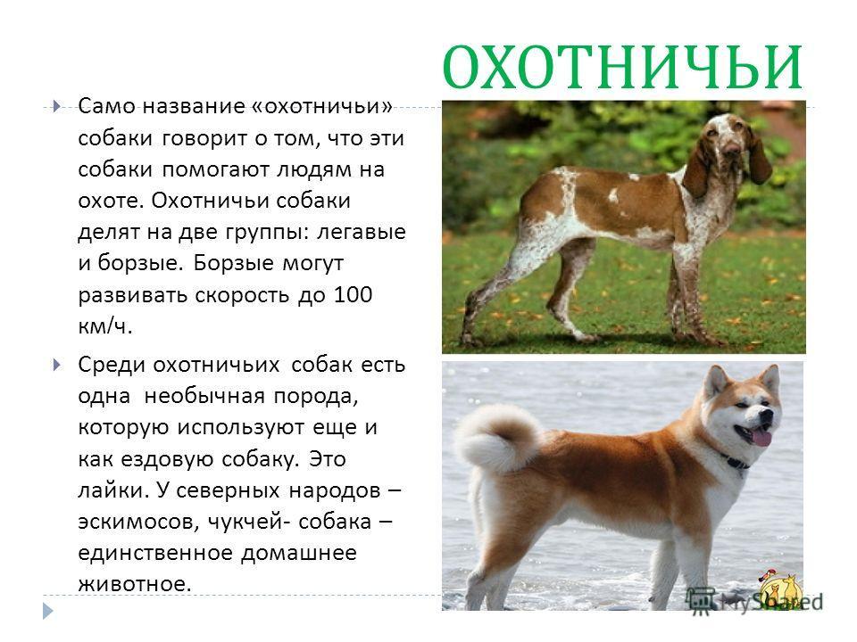 ОХОТНИЧЬИ Само название « охотничьи » собаки говорит о том, что эти собаки помогают людям на охоте. Охотничьи собаки делят на две группы : легавые и борзые. Борзые могут развивать скорость до 100 км / ч. Среди охотничьих собак есть одна необычная пор