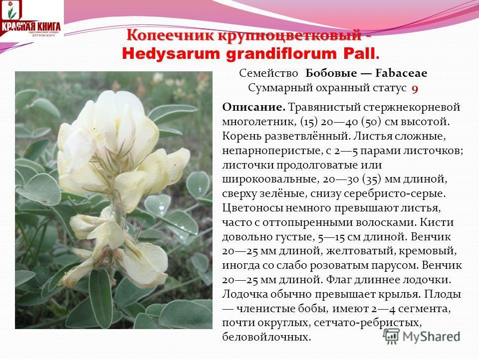 Копеечник крупноцветковый - Копеечник крупноцветковый - Hedysarum grandiflorum Pall. Семейство Бобовые Fabaceae Суммарный охранный статус 9 Описание. Травянистый стержнекорневой многолетник, (15) 2040 (50) см высотой. Корень разветвлённый. Листья сло