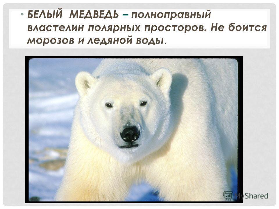 БЕЛЫЙ МЕДВЕДЬ – полноправный властелин полярных просторов. Не боится морозов и ледяной воды.