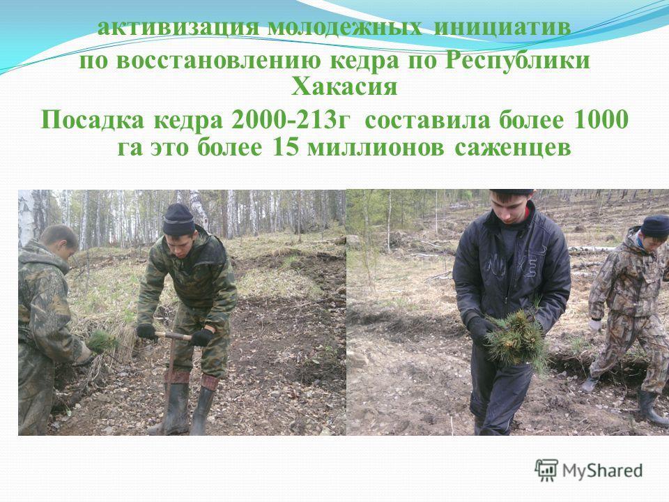 активизация молодежных инициатив по восстановлению кедра по Республики Хакасия Посадка кедра 2000-213г составила более 1000 га это более 15 миллионов саженцев
