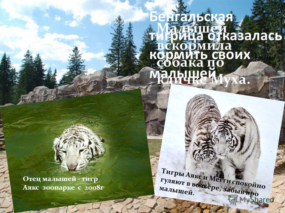 Дальневосточный леопард Пятнистый котенок появился у пары леопардов Сабины и Басура. П я т н и с т ы й к о т е н о к п о я в и л с я у п а р ы л е о п а р д о в С а б и н ы и Б а с у р а. ОЧЕНЬ красивая кошка с гибким, стройным и сильным телом. занес