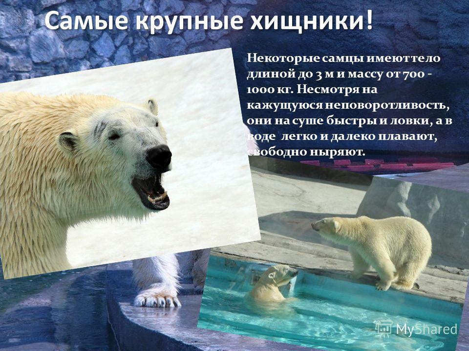 Экспозиция «Белый Север» Летом ежедневно проходят выступления моржей для публики. Разыгрывается целый спектакль с играми в воде. Летом ежедневно проходят выступления моржей для публики. Разыгрывается целый спектакль с играми в воде.