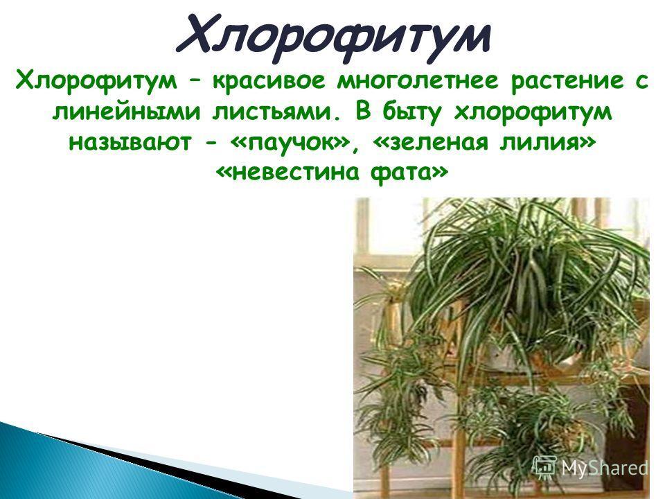 Хлорофитум Хлорофитум – красивое многолетнее растение с линейными листьями. В быту хлорофитум называют - «паучок», «зеленая лилия» «невестина фата»