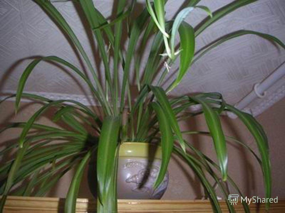 научить вести наблюдения за комнатными растениями; научить проводить опыты; уметь делать выводы о своей работе; воспитать чувство сопереживания к объектам окружающей среды.