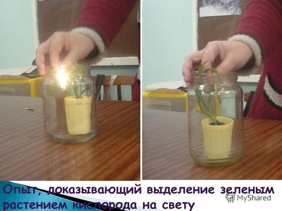 Опыт, доказывающий выделение зеленым растением кислорода на свету