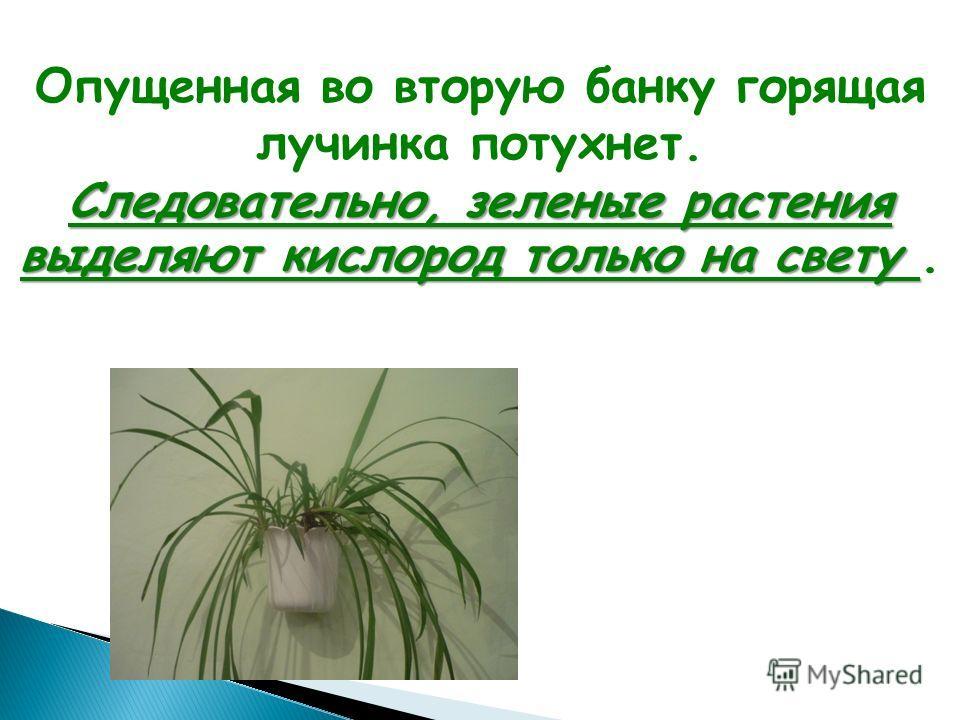 Опущенная во вторую банку горящая лучинка потухнет. Следовательно, зеленые растения выделяют кислород только на свету Следовательно, зеленые растения выделяют кислород только на свету.
