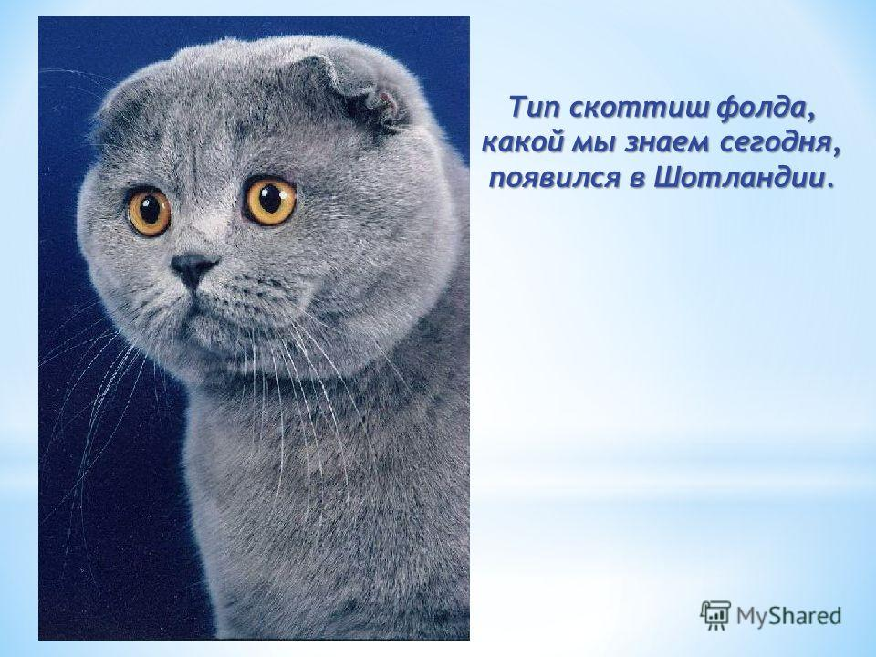 Ген, ответственный за сложенность уха, присутствует у домашних кошек по меньшей мере 200 лет Ген, ответственный за сложенность уха, присутствует у домашних кошек по меньшей мере 200 лет.