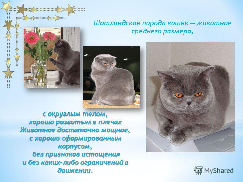 Шотландские кошки замечательные, обаятельных животные, которые покорили сердца многих и многих любителей кошек во всех частях света.