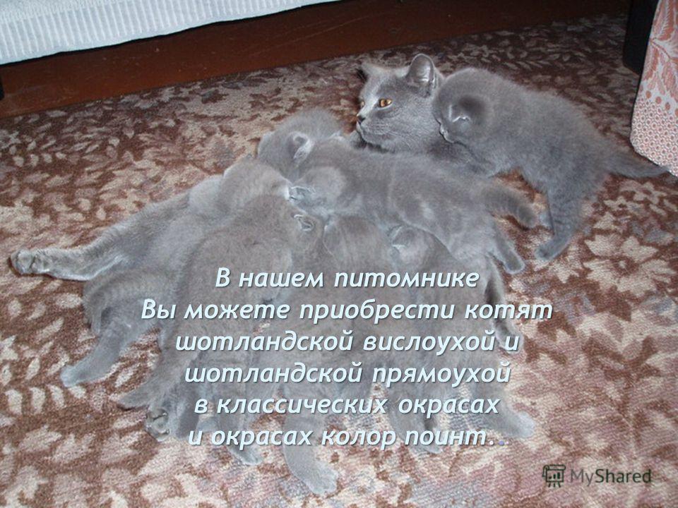 Также эти кошки обладают своим уникальным чувством юмора и очень часто вызывают улыбку.
