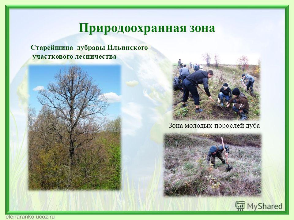 Природоохранная зона Старейшина дубравы Ильинского участкового лесничества Зона молодых порослей дуба