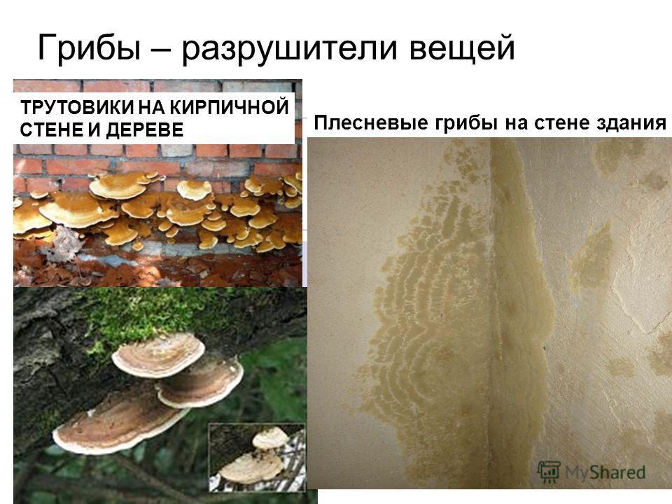 Грибы – разрушители вещей Плесневые грибы на стене здания ТРУТОВИКИ НА КИРПИЧНОЙ СТЕНЕ И ДЕРЕВЕ