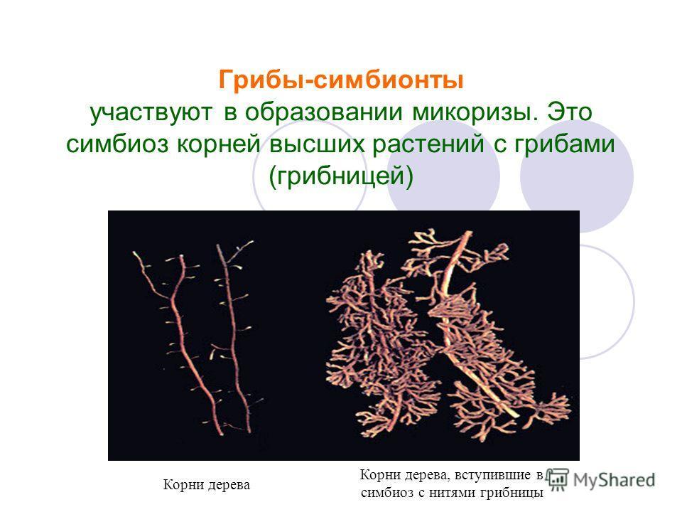 Грибы-симбионты участвуют в образовании микоризы. Это симбиоз корней высших растений с грибами (грибницей) 1.Фотография микоризы Корни дерева Корни дерева, вступившие в симбиоз с нитями грибницы