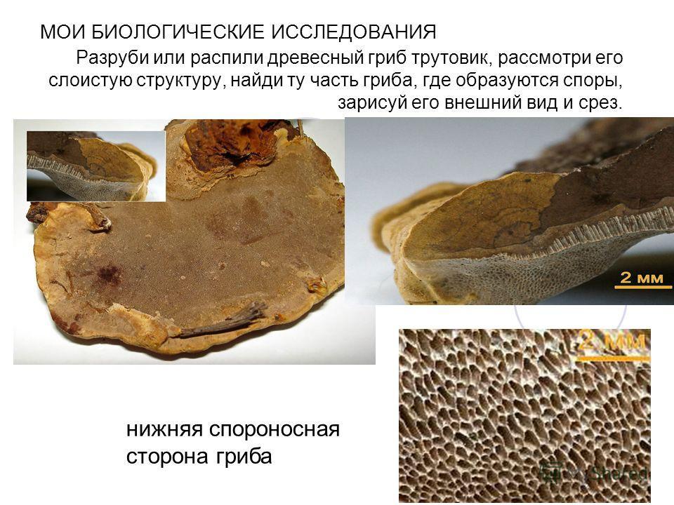 МОИ БИОЛОГИЧЕСКИЕ ИССЛЕДОВАНИЯ Разруби или распили древесный гриб трутовик, рассмотри его слоистую структуру, найди ту часть гриба, где образуются споры, зарисуй его внешний вид и срез. нижняя спороносная сторона гриба