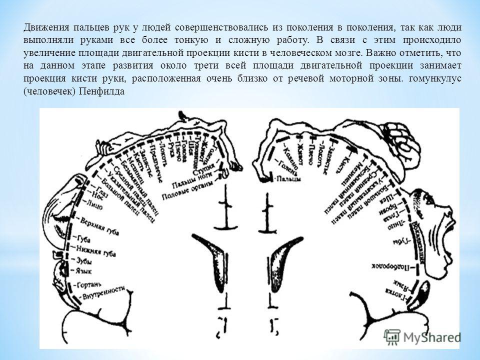 Движения пальцев рук у людей совершенствовались из поколения в поколения, так как люди выполняли руками все более тонкую и сложную работу. В связи с этим происходило увеличение площади двигательной проекции кисти в человеческом мозге. Важно отметить,