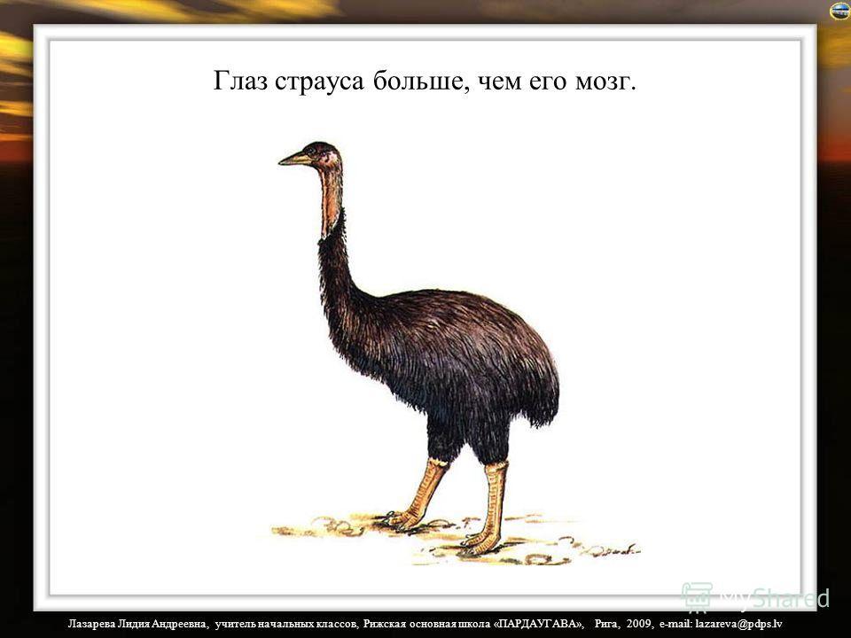 Лазарева Лидия Андреевна, учитель начальных классов, Рижская основная школа «ПАРДАУГАВА», Рига, 2009, e-mail: lazareva@pdps.lv Глаз страуса больше, чем его мозг.