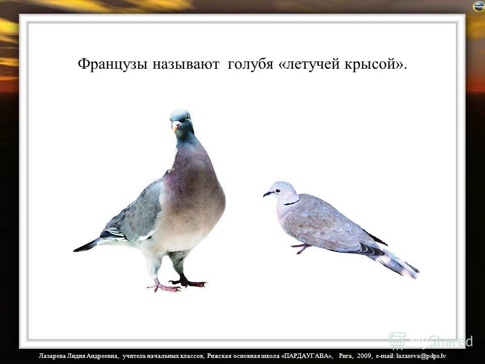 Лазарева Лидия Андреевна, учитель начальных классов, Рижская основная школа «ПАРДАУГАВА», Рига, 2009, e-mail: lazareva@pdps.lv Французы называют голубя «летучей крысой».