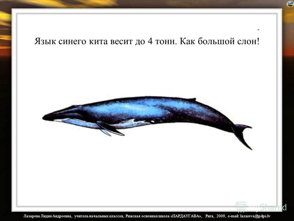 Лазарева Лидия Андреевна, учитель начальных классов, Рижская основная школа «ПАРДАУГАВА», Рига, 2009, e-mail: lazareva@pdps.lv Язык синего кита весит до 4 тонн. Как большой слон!
