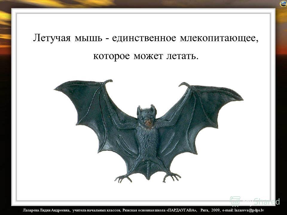 Лазарева Лидия Андреевна, учитель начальных классов, Рижская основная школа «ПАРДАУГАВА», Рига, 2009, e-mail: lazareva@pdps.lv Летучая мышь - единственное млекопитающее, которое может летать.