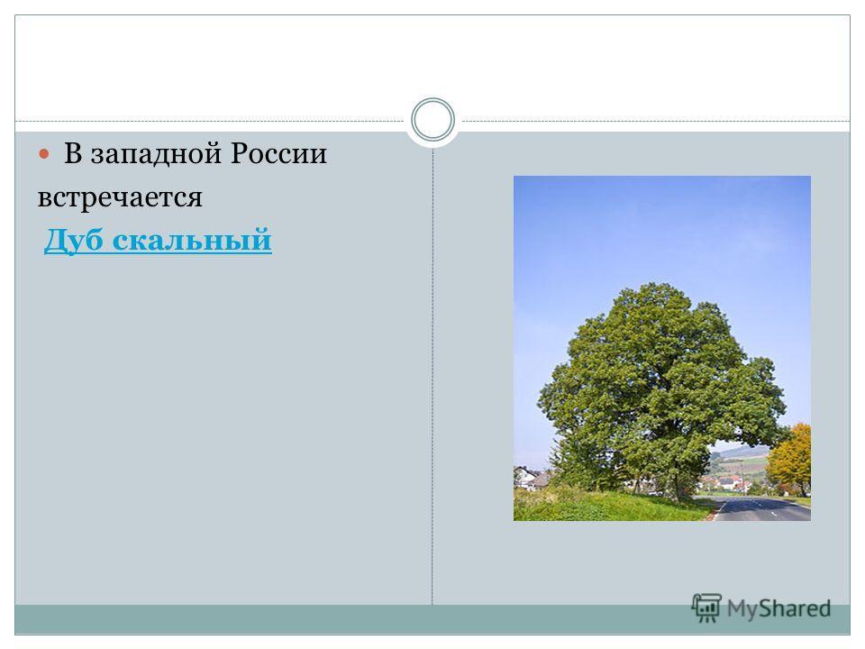 В западной России встречается Дуб скальный