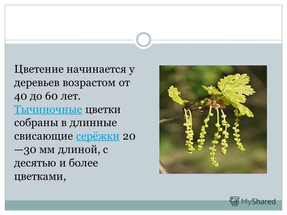 Цветение начинается у деревьев возрастом от 40 до 60 лет. Тычиночные цветки собраны в длинные свисающие серёжки 20 30 мм длиной, с десятью и более цветками, Тычиночныесерёжки